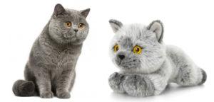 brit_rövidszörű cica és plüss hasonmása